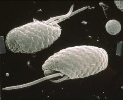 Criptofite al microspio elettronico