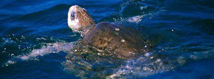tartaruga-olive_ridley.jpg