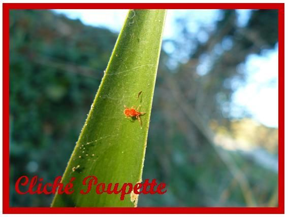 accarien_g_ant_rouge1