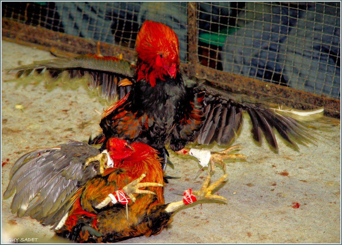 france cockfighting u2013 the name of tradition u2013 cockfighting from