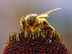 250px-Bees_Collecting_Pollen_2004-08-14.jpg