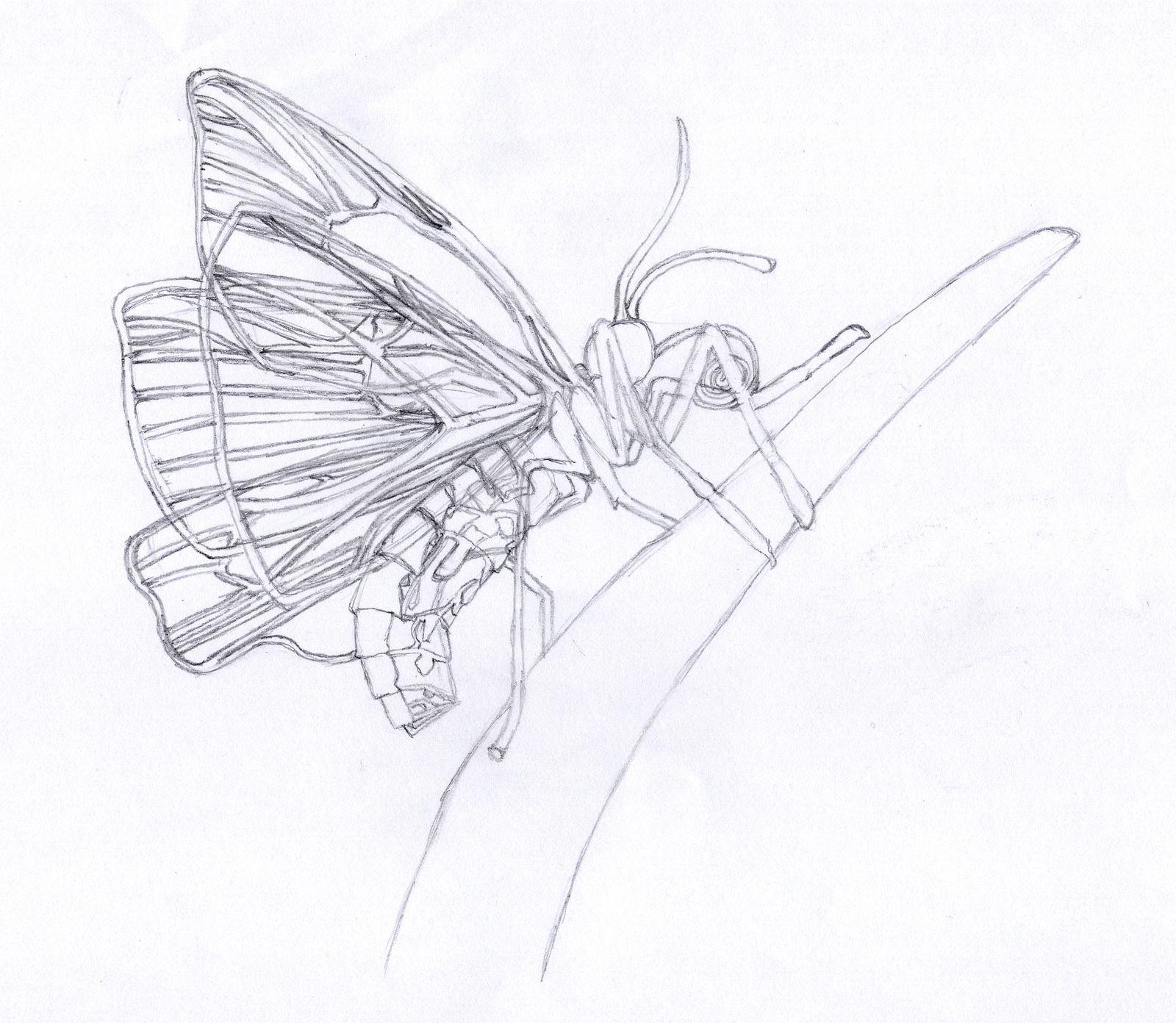 papillon_manon.jpg