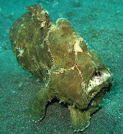 250px-Giant FrogFish