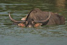 220px-Flickr - Rainbirder - Bull Water Buffalo