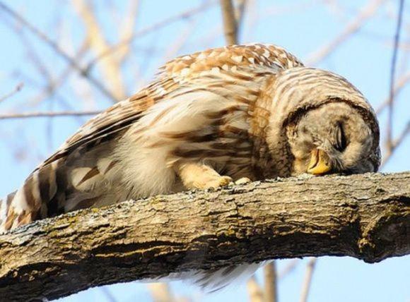 l-Sleeping-Owl.jpg