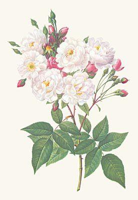 Rosa-noisettiana.jpg