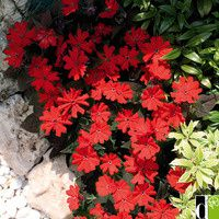 gif lychnis rouges