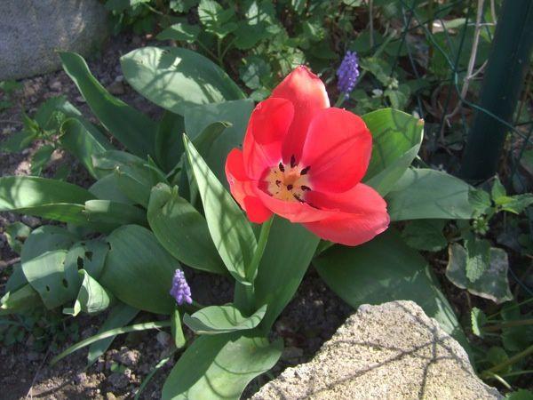 20120328-tulipe-6949