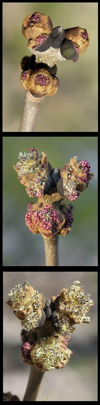 Frene-fleurs-males-2.jpg