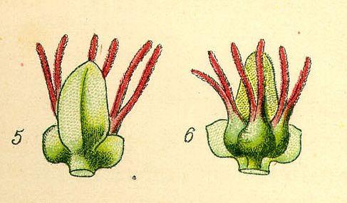 bouleau-fleurs-femelles.jpg