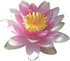 Fleur lotus - petit