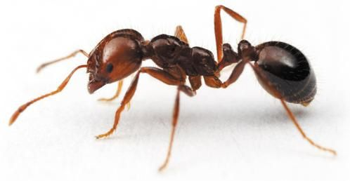 fire ant-copie-1