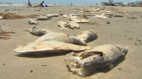 dead-fish-Galveston.jpg
