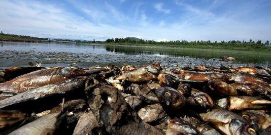 3440087_3_8e6d_au-moins-500-tonnes-de-poissons-morts-ont-et.jpg