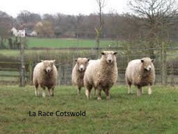 cotswold sheep-copie-1