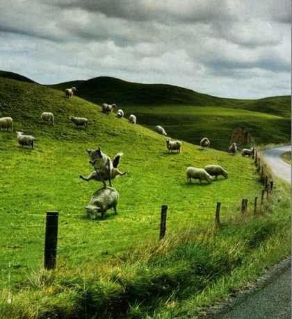 loup-saute-mouton.jpg
