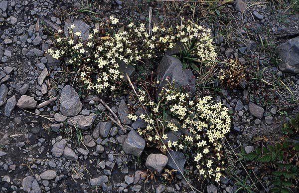 Gentiana-tongolensis-1.jpg