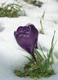 Crocus & snow