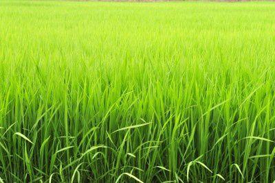 champ riz asie