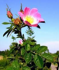 ROSE-MUSQUEE-DU-CHILI--Rosa-rubiginosa-.jpg