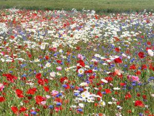 jachere-fleurie-perenne-fleurs-antan-copie3.jpg