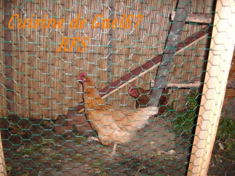 poullaillier_poule_pondeuse_alsace__poulette_et_ketchup2
