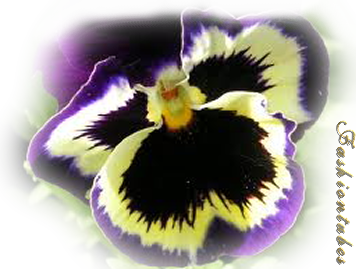 pensee-violette-jaune.png