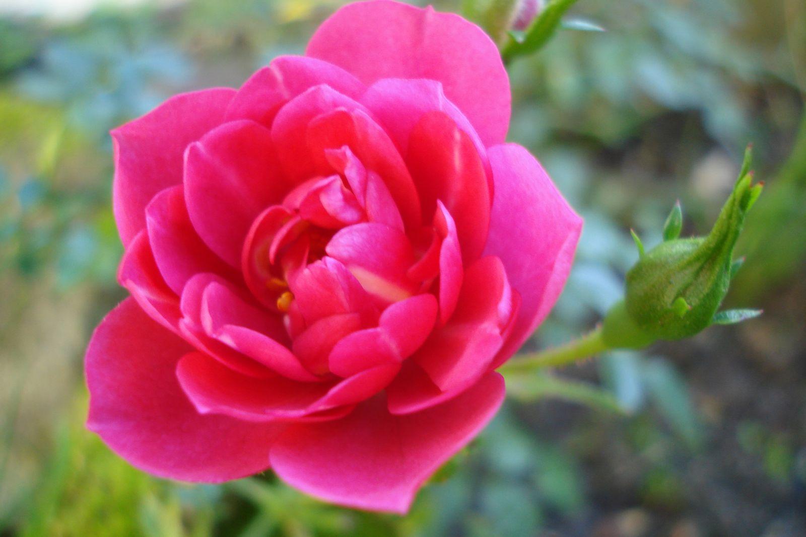 rosier knirps cagouille 39 s garden. Black Bedroom Furniture Sets. Home Design Ideas
