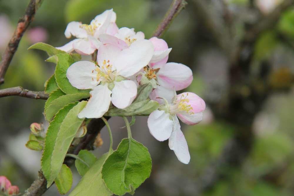 la pomme et les pommiers en fleurs symboles du paysage de normandie mes meilleurs souvenirs. Black Bedroom Furniture Sets. Home Design Ideas