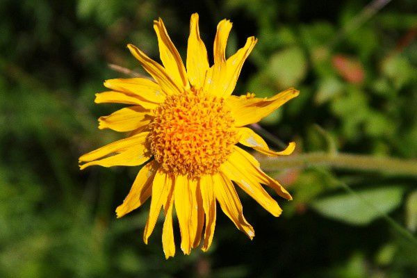 Arnica des montagnes