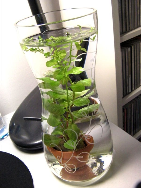 plante aquatique bocal