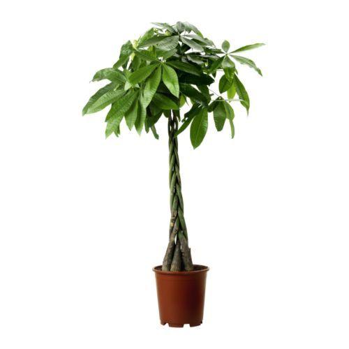 pachira-aquatica-plante-en-pot__67472_PE181313_S4.jpg