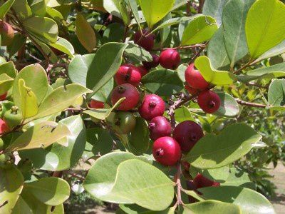 Psidium_cattleyanum_fruits---.jpg