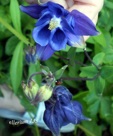 ancolie-bleue.jpg