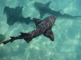 requin-nurse.jpg