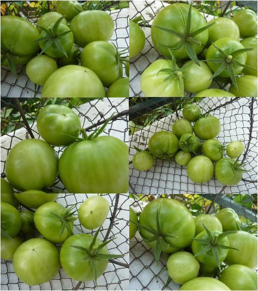 Capture tomates