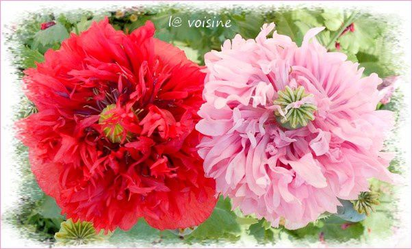 duo pavots rouge.rose