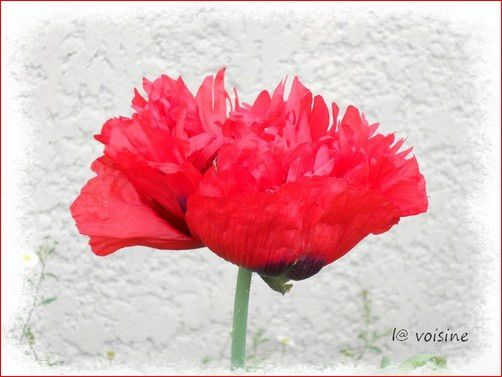 pavot rouge 2