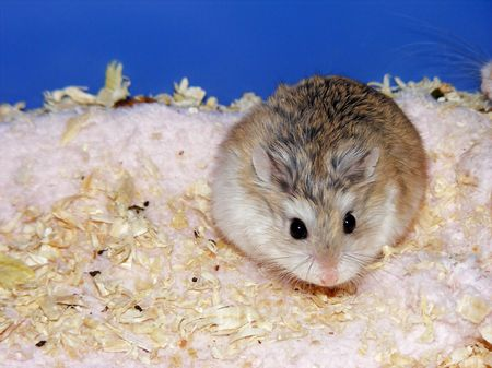 Dave the Hamster