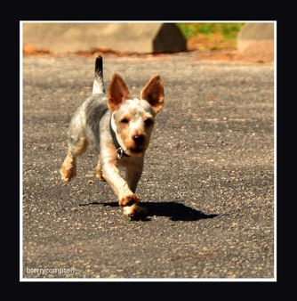 Curly The Yorky On The Run