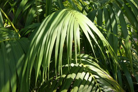"Feeling a little ""Kentia"" palm"