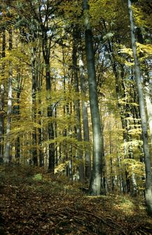 beech forest in autumn colors, Germany, Harz