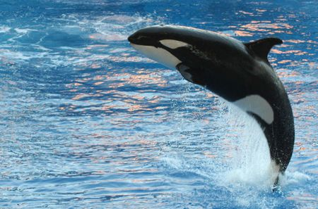 An Orca (Orcinus orca) jumping at the Orlando Seaworld in Orlando, Flo