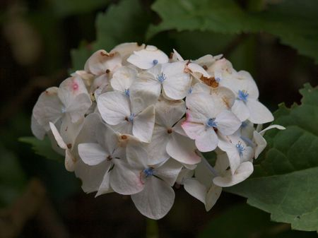 white-blue hortensia