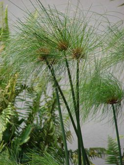 Cyperus papyrus (plumes). Location: Maui, Kaanapali | Source Plants