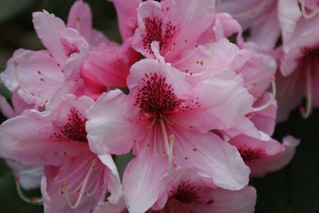 Pink Rhododendron's