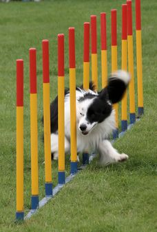 A Border Collie negotiating weave poles. | Source Flickr http://www.