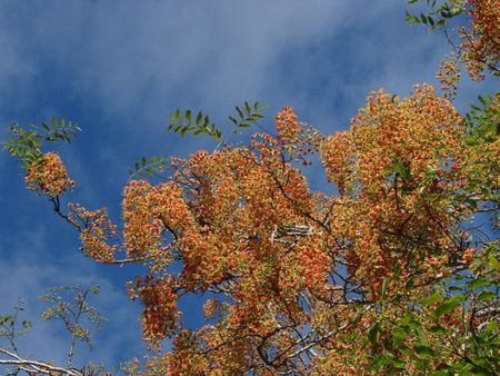 Brewster's Cassia - flowering tree