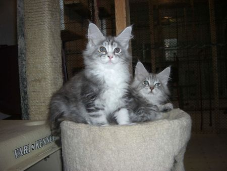 Maine Coon kittens at 10 weeks