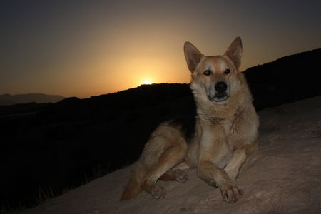 German Shepherd at sunset